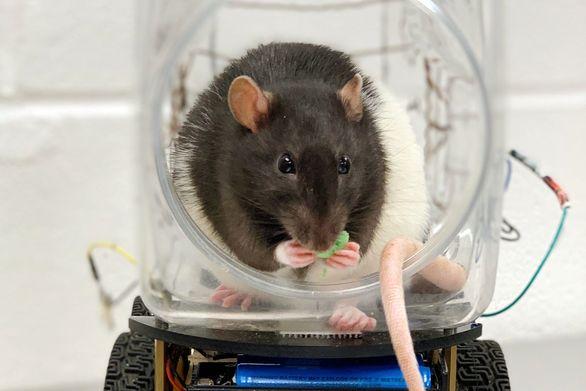 آموزش رانندگی به موش ها (عکس)